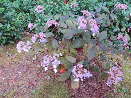 Hydrangea 'Plum Passion'