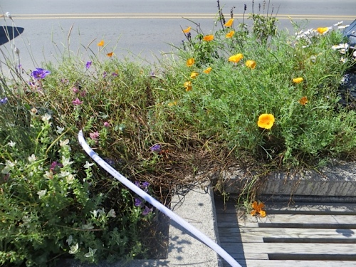 Looking forward to trimming the California poppies by the police station next week.