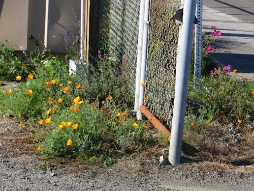 California poppies behind the fence by the sanican.