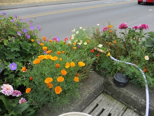 the planter by the credit union...still excellent with dahlias and California poppies