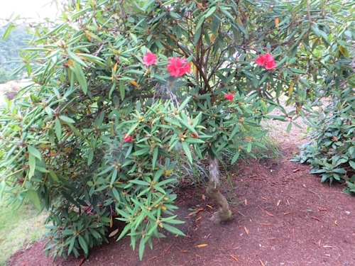 We all wondered at this red rhododendron blooming now.