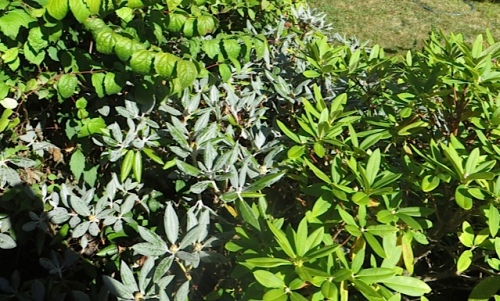 For Steve and John:  a drift of rhododendron leaves with silver indumentum