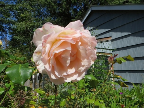 one of Mary's roses, a real do-er (with some blackspot problems)