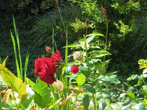 my mom's red velvet rose