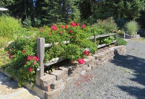 roses on a split rail fence