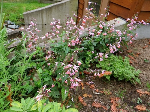 Pink salvia by the pumphouse