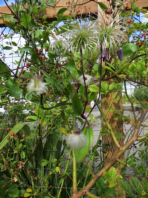This clematis has been blooming for ages and also has beautiful seed pods.