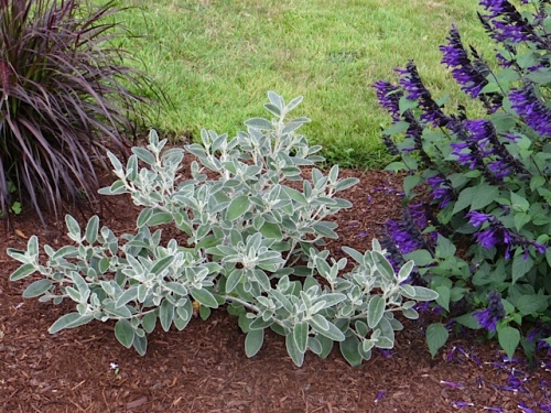 Senecio greyii with leaves edged in silver