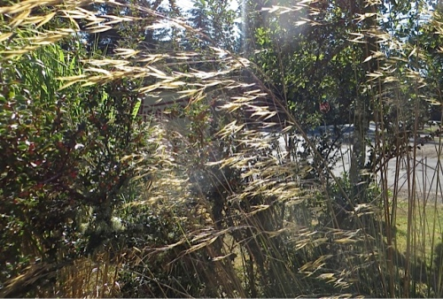 the flowers of my favourite: Stipa gigantea