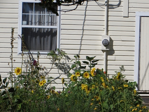 Sunflowers grow on the south wall of the house next to that planter.