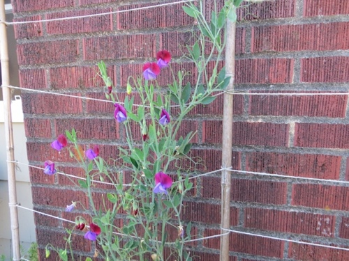 sweet pea 'Cupani' against the chimney