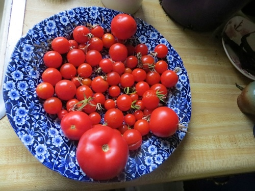I harvested the second to last plateful of tomatoes from the greenhouse.