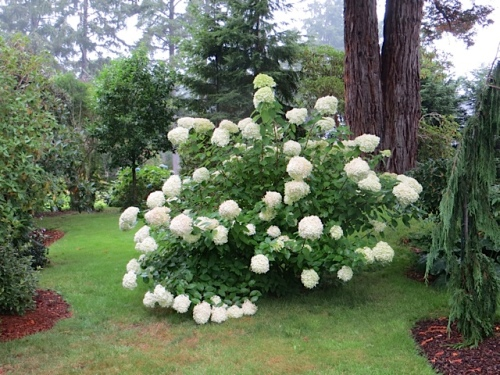the clearing of the white hydrangea
