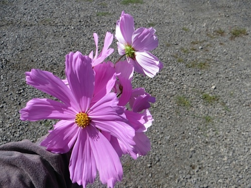 huge cosmos flowers