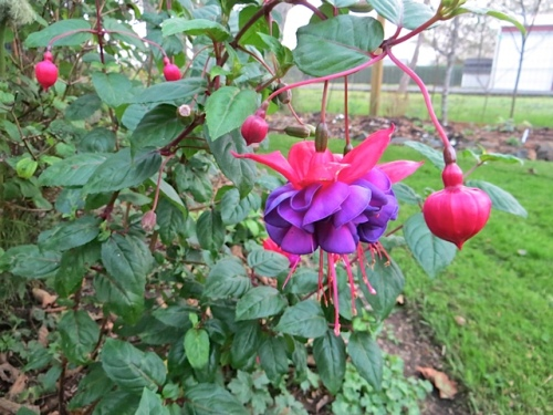 another very flouncy Fuchsia