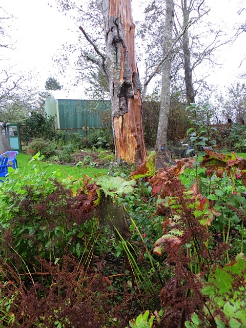 and some more bark had stripped off the former danger tree.