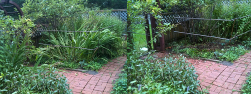 Allan's before and after of pulling the crocosmia
