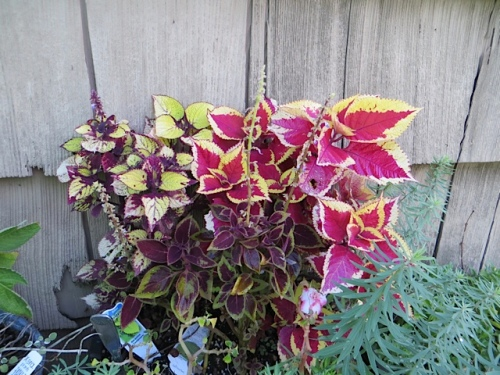 coleus by the shed