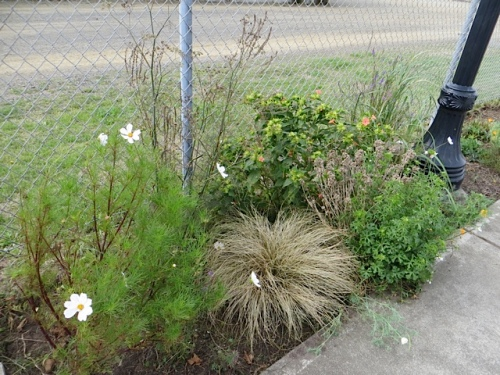 cosmos and carex and linaria purpurea (toadflax)