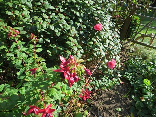 Fuchsia 'Debron's Black Cherry' with a small rhodo throwing some late blooms