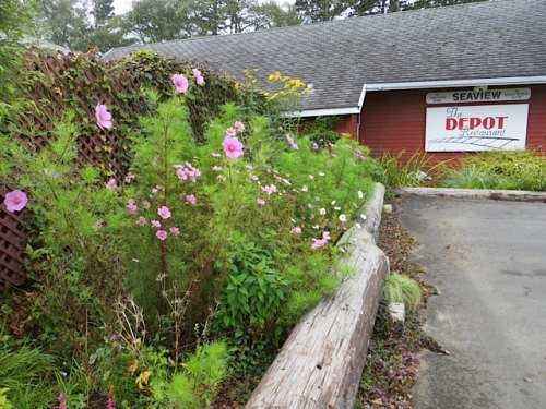 The Depot's late blooming cosmos, some of which still have not bloomed at all.