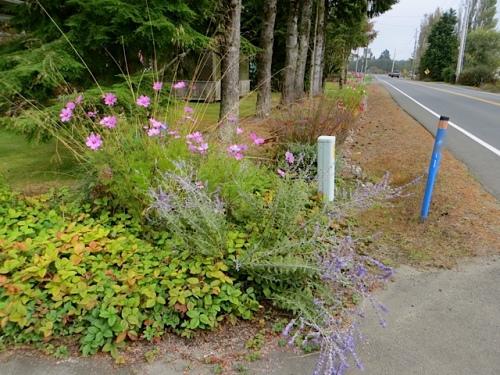 Diane's roadside garden with blue Perovskia (Russian sage)