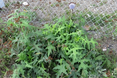 Echinops ritro  (blue globe thistle, second bloom after being cut down)
