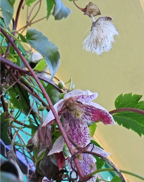 Clematis 'Freckles'