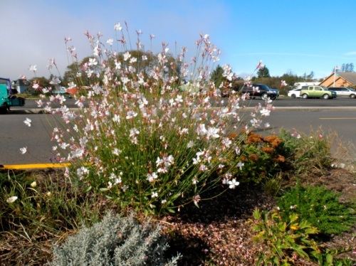 a little further west, Gaura lindheimeri 'Whirling Butterflies' looking gorgeous by the Ilwaco Pavilion.