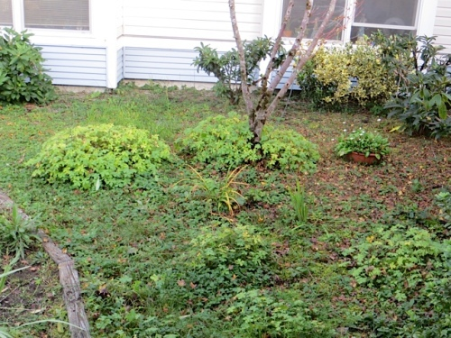 All the pesky geranium has reseeded from these clumps planted by a volunteer, ages ago, outside the quadrant.