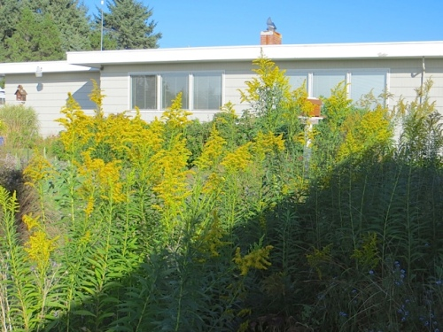 goldenrod in the west garden, far from ready to cut back