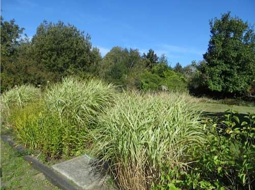 the handsome stand of variegated Miscanthus in the back garden