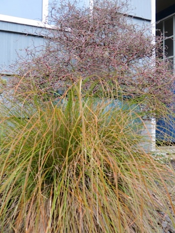 grass and corokia cotoneaster by the garage