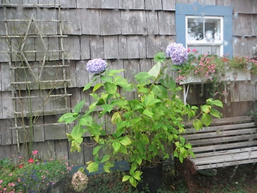 hydrangea blooming in the driveway