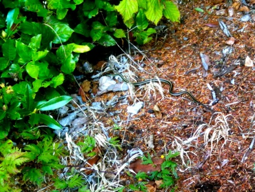 The rock wall is home to a population of garter snakes.  (Allan's photo)