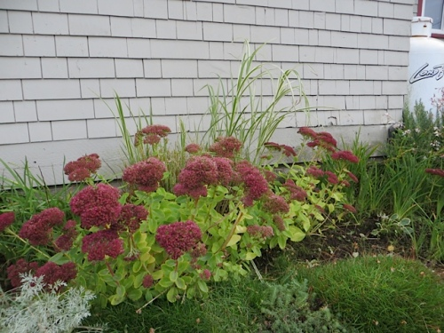 behind Sedum 'Autumn Joy', Miscanthus with good new growth