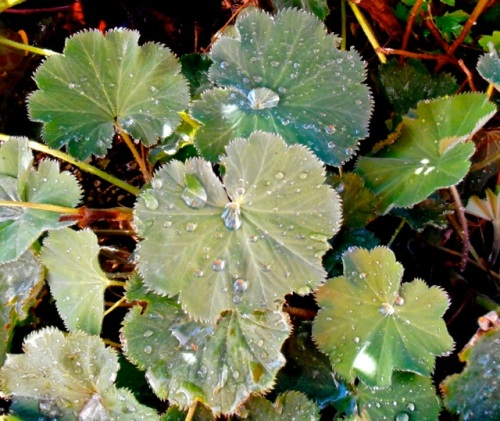 Lady's mantle doing what it does best: showing off water droplets.