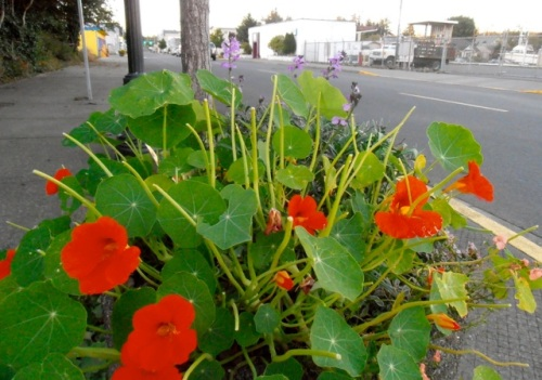 In Ilwaco, by the boatyard, the deer are eating the nasturtiums.