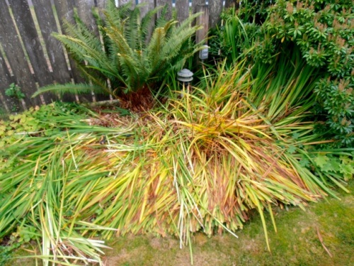 Allan trimmed some of the Siberian iris...