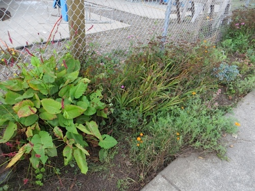 Persicaria 'Firetail' in a spot that tends to get hose dribblings.