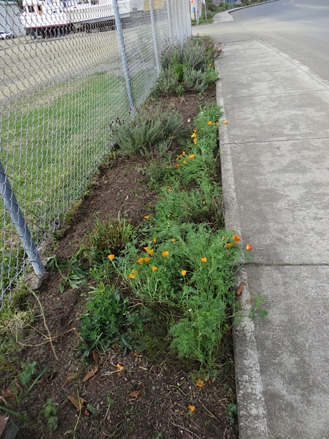 California poppies, santolina, lavender