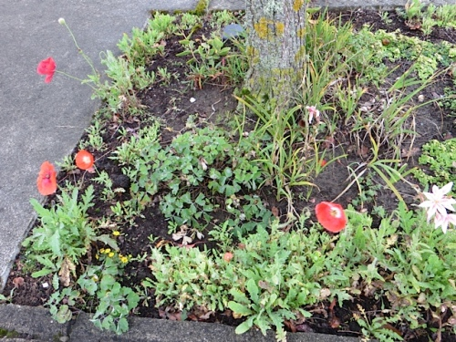under one of the street trees, some late corn poppies