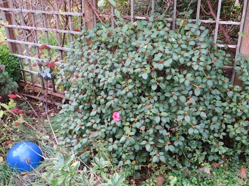 a small, late blooming rhodo flower outside the deer fence