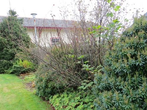 I asked Allan to take a big branch off of the Ribes sanguineum (flowering currant).