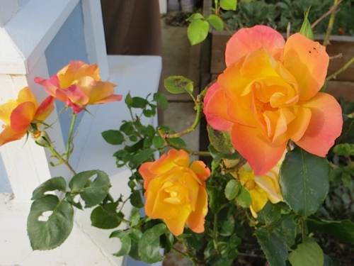 mom's Joseph's Coat rose in the garden