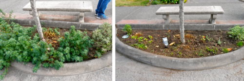 Allan's before and after of weeding under a tree; we plan to put Sedum 'Autumn Joy' in there.
