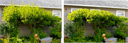 Allan's viburnum project, before and after