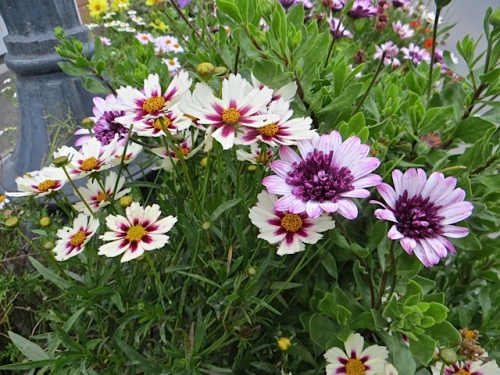 Star Cluster Coreopsis and a double Osteospermum
