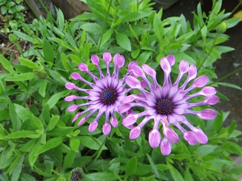 "Osteospermum ""spoons"" in  one of Diane's planters"