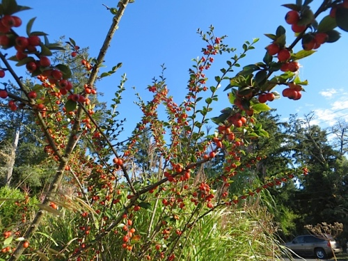 not sure which cotoneaster, but it is taller than me.